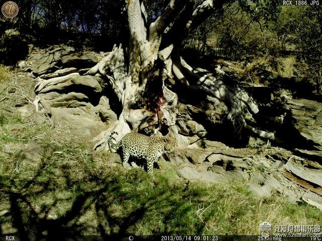 非洲豹狩猎