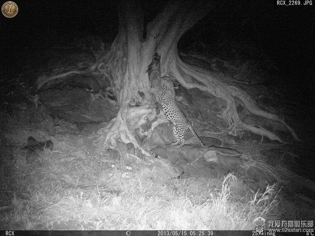 纳米比亚豹子狩猎 纳米比亚花豹狩猎