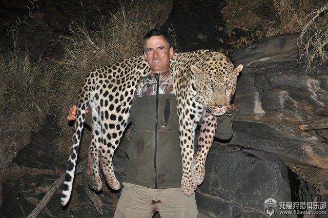 纳米比亚花豹 非洲豹狩猎