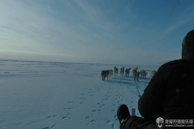北极熊狩猎方式