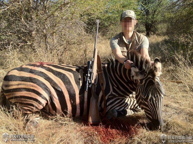 南非斑马狩猎