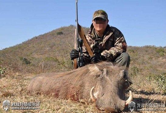 南非疣猪狩猎