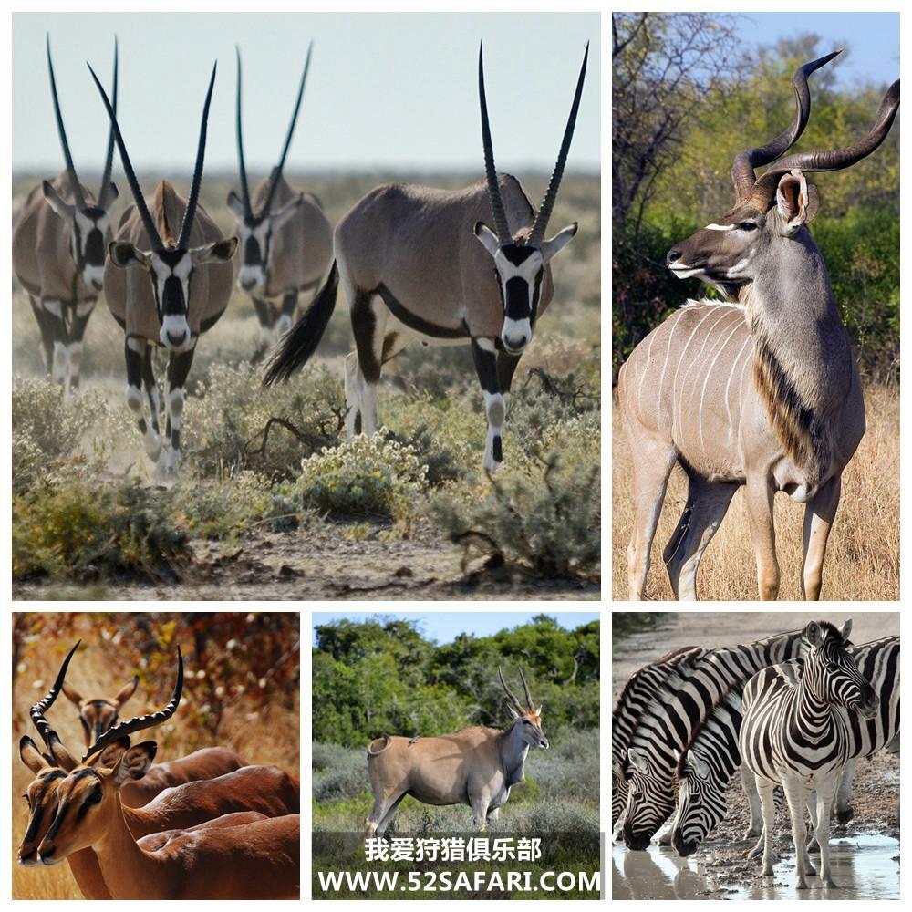 南非草原猎物狩猎