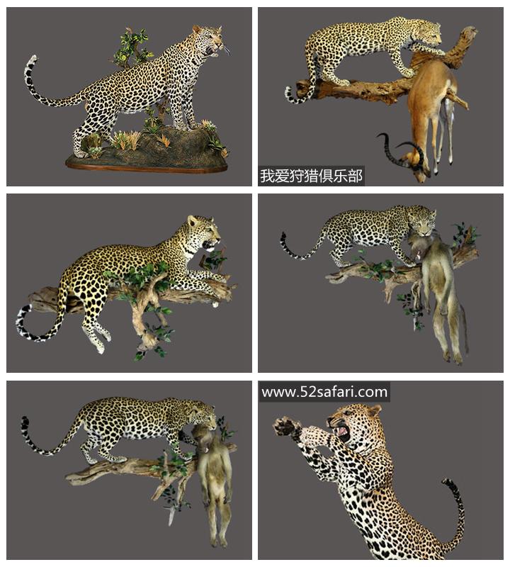 花豹标本 豹子标本 非洲豹标本