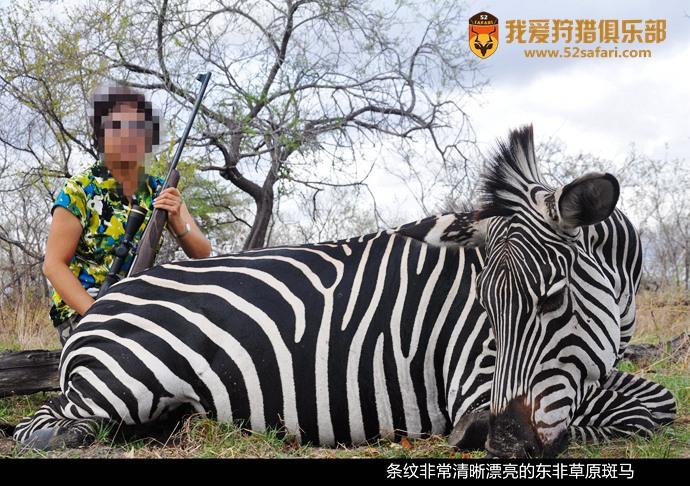坦桑尼亚斑马 东非狩猎 坦桑尼亚狩猎 斑马狩猎