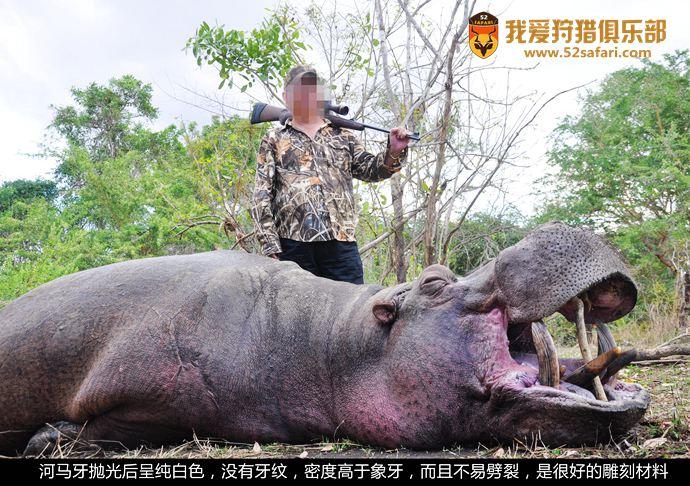 河马猎物 河马打猎 河马战利品 坦桑尼亚狩猎