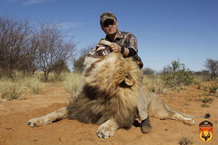 南非狮狩猎