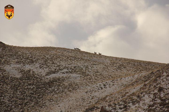 狩猎 打猎 吉尔吉斯 盘羊 北山羊 马可波罗羊 52safari safari 我爱狩猎俱乐部