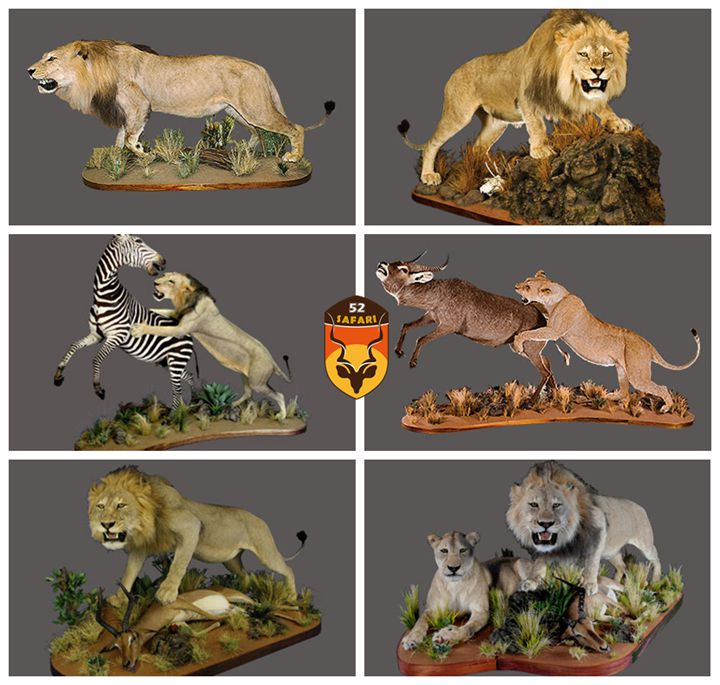 非洲狮标本
