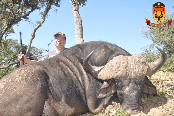 动物分类 非洲五霸  非洲野牛的攻击性非常强