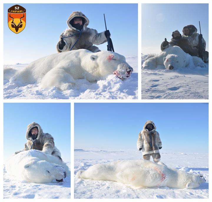加拿大合法北极熊狩猎