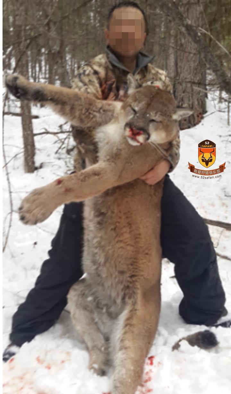 美洲狮 加拿大美洲狮 加拿大 狩猎 打猎 美洲狮打猎 美洲狮狩猎 加拿大狩猎 美洲狮加拿大 加拿大打猎