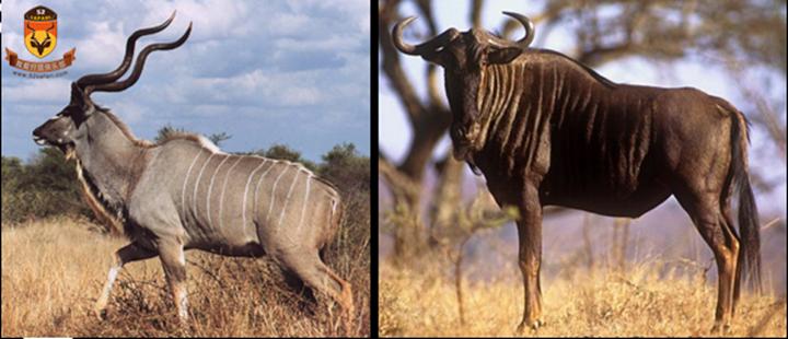 南非 国外狩猎 国际狩猎 打猎 狩猎 南非狩猎 南非海钓 海钓 国外海钓 国际海钓 旋角羚 蓝角马