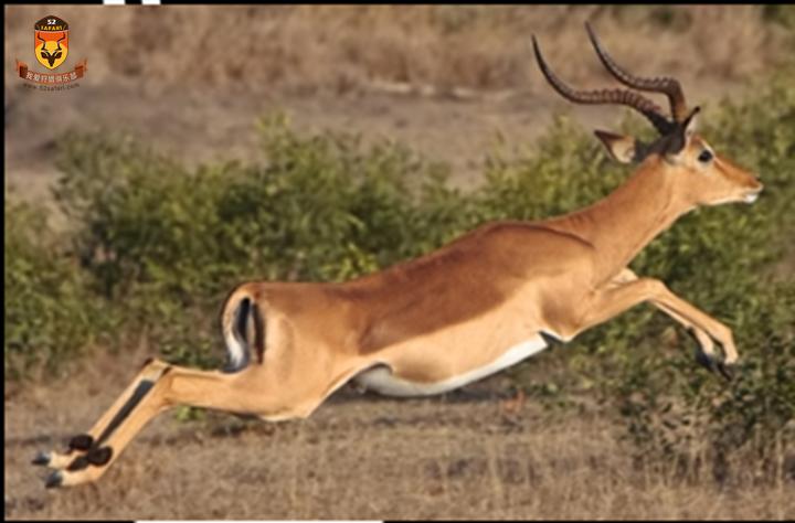 南非 国外狩猎 国际狩猎 打猎 狩猎 南非狩猎 南非海钓 海钓 国外海钓 黑斑羚 国际海钓