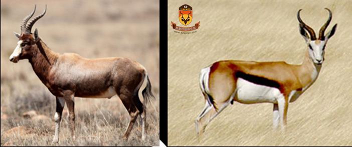 南非 国外狩猎 国际狩猎 打猎 狩猎 南非狩猎 南非海钓 海钓 白脸牛羚 跳羚 国外海钓 国际海钓