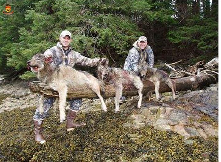 阿拉斯加大灰狼狩猎团