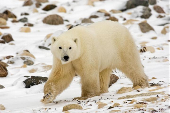 加拿大北极熊狩猎