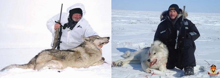 北极狼狩猎