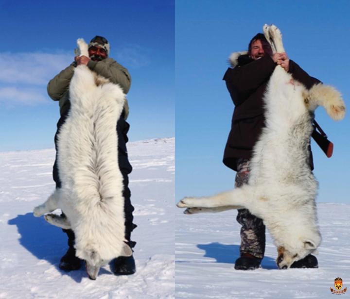 北极狼狩猎团