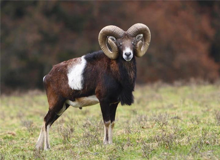德州盘羊狩猎