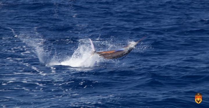莫桑比克马林鱼