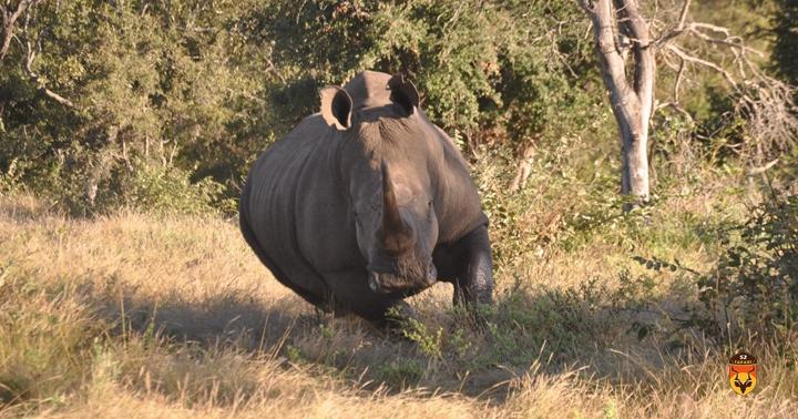 非洲犀牛狩猎 白犀狩猎 犀牛狩猎团