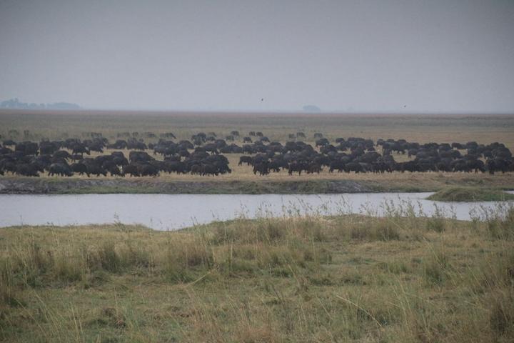 纳米比亚野牛