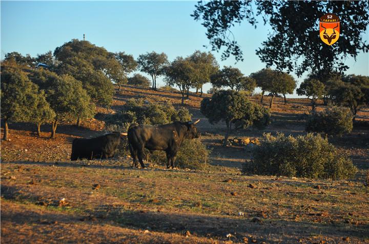 西班牙牛场