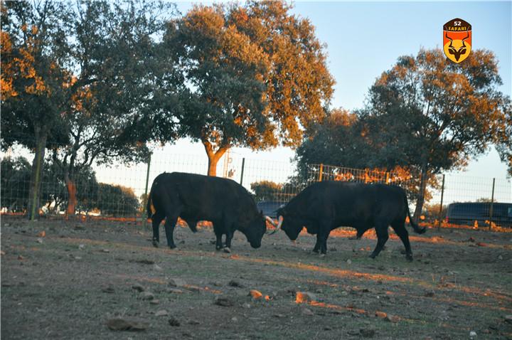 西班牙公牛