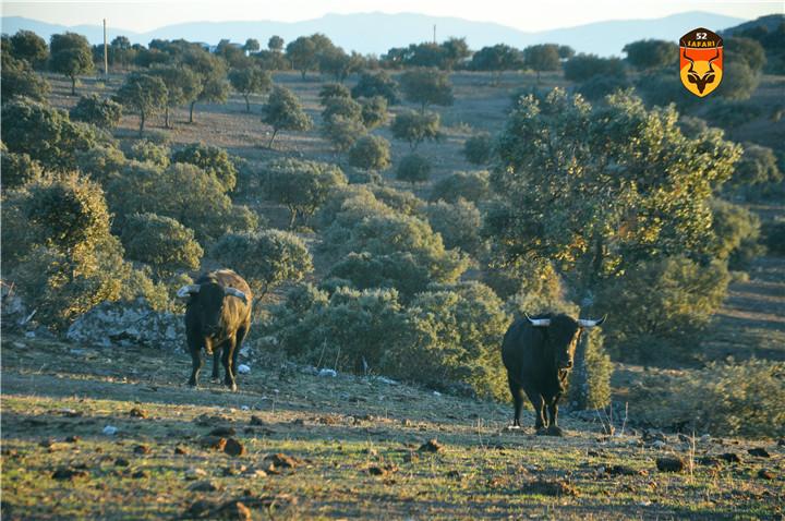 西班牙公牛长