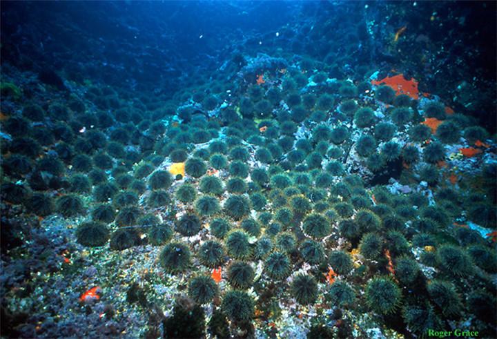 新西兰海胆