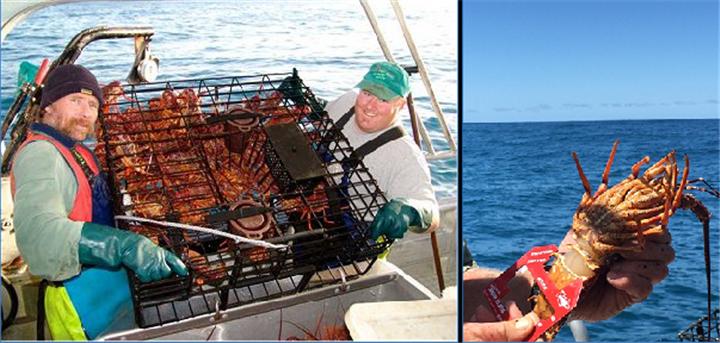 新西兰抓龙虾