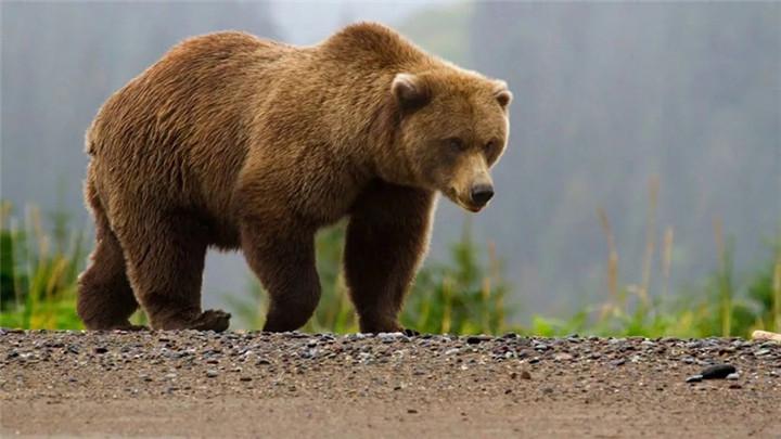 俄罗斯棕熊