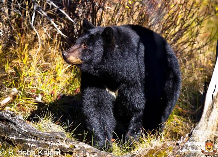 北美黑熊狩猎 黑熊狩猎 狩猎 国外合法打猎 国外狩猎 熊打猎 北美狩猎
