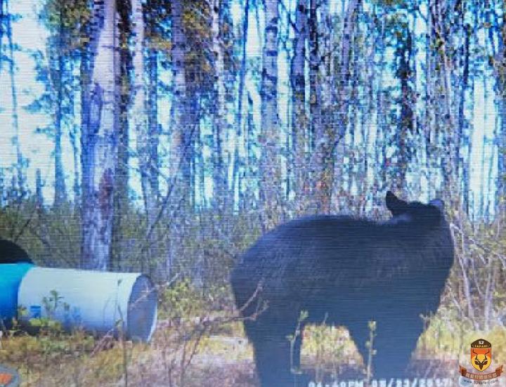 北美黑熊狩猎