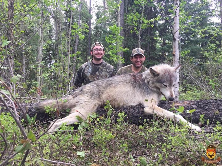 狼狩猎团 加拿大狼狩猎 北美狼狩猎