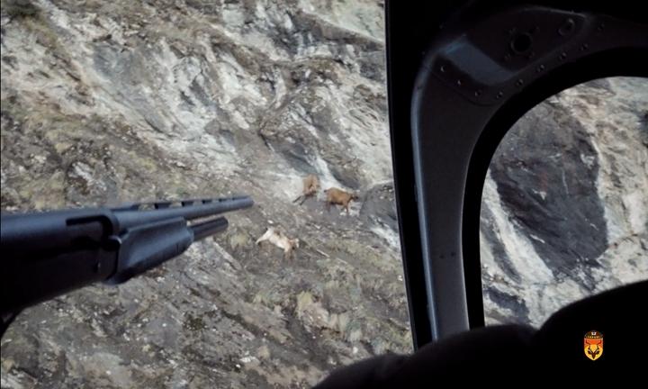 直升飞机山羊狩猎