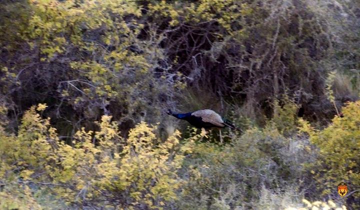 新西兰野孔雀