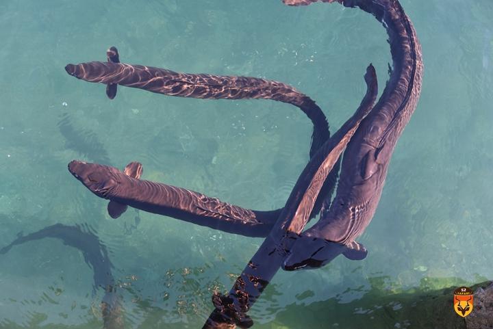新西兰鳗鱼