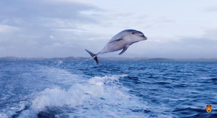 新西兰海豚