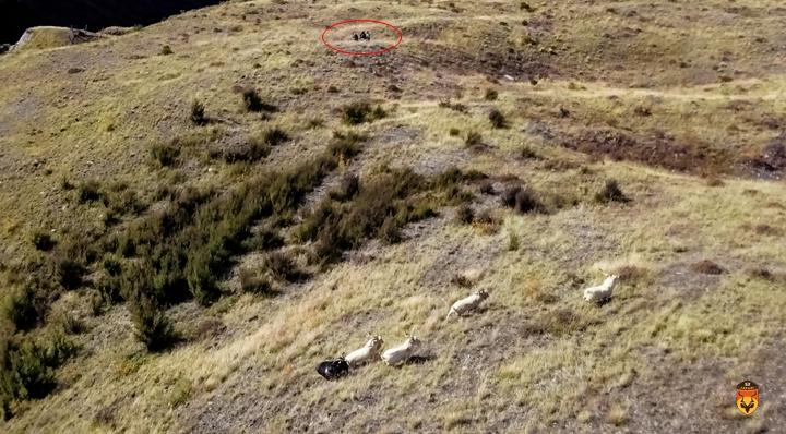 新西兰羊狩猎