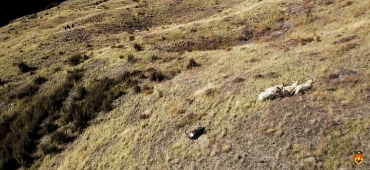 野山羊狩猎