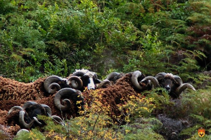 新西兰野绵羊狩猎