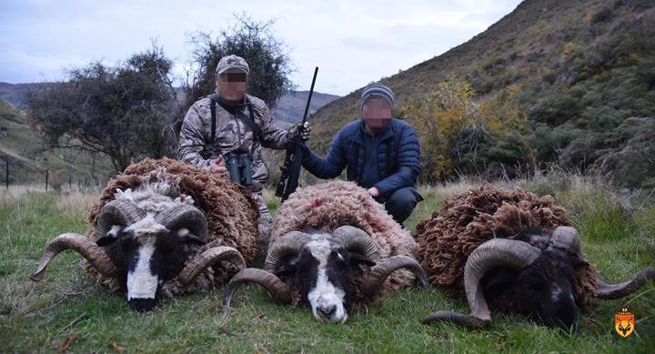 三只战利品新西兰野绵羊