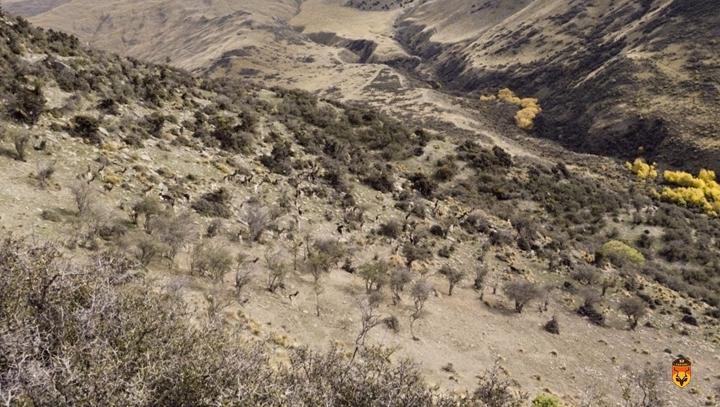新西兰黇鹿