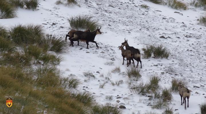 新西兰岩羚狩猎团
