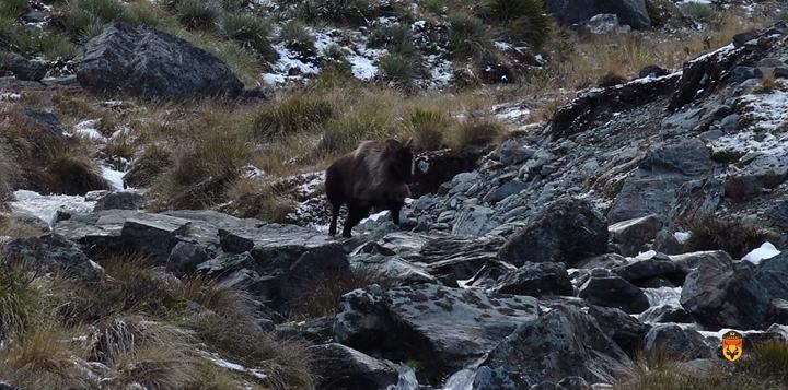新西兰塔尔羊