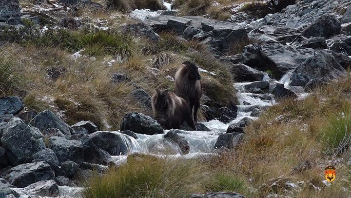 新西兰战利品塔尔羊狩猎