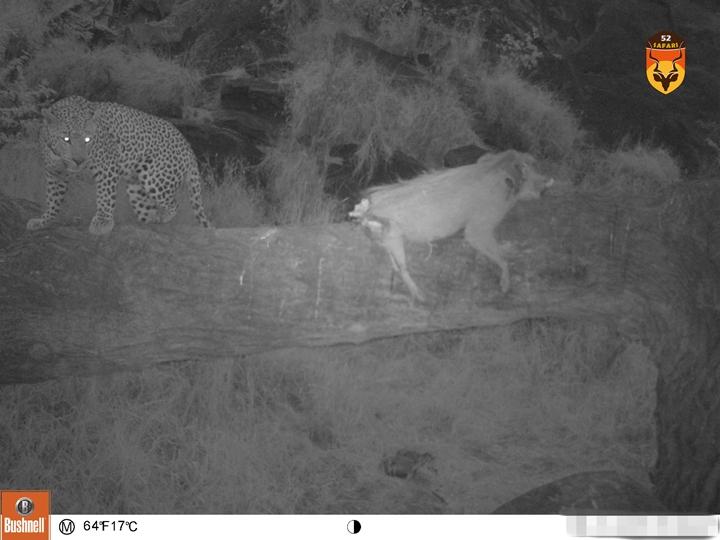非洲豹 花豹 豹子 纳米比亚狩猎