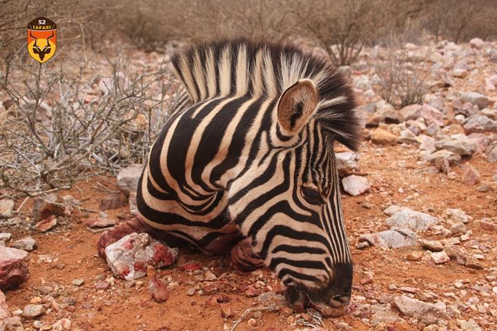 南非狩猎费用 狩猎费 斑马猎物费